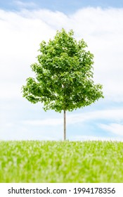 Beauty of natural maple tree stands alone in greenery landscape with white clouds and blue sky background. Scenic of green environment, fresh and relax. Outdoor in summer and summer. Minimal concept.