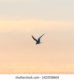 Beauty in nature, a Common Tern, Sterna hirundo, in graceful flight against a colored sky by sunset
