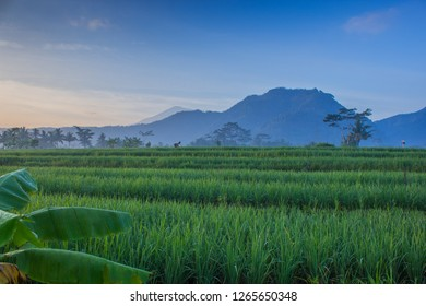 The beauty of the paddy fields in the morning against the background of the hills and the bright blue sky, Indonesia