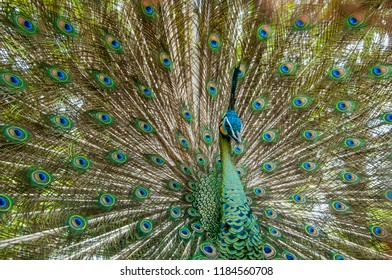 the beauty of peacocks