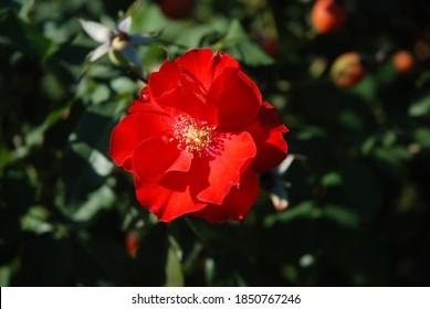 Beauty Pink Flower in Garden