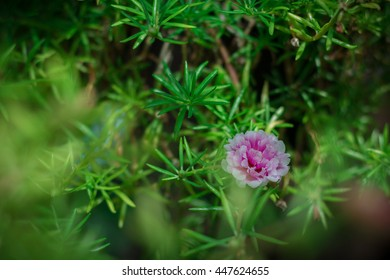 Beauty of pussley flower or Moss Rose under natural light in the morning.(film effect, soft focus)