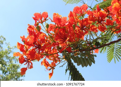 The beauty of red flowers,Peacock flower