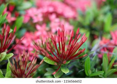 Pink spike flower garden images stock photos vectors shutterstock beauty red ixora on blur backgroundred spike flower pink ixora flowers blossom in mightylinksfo