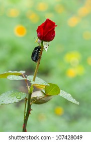 Beauty (rose) and the Beast(bug) - natural version.