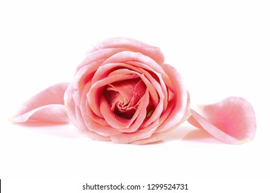 Beauty Roses flower on white background