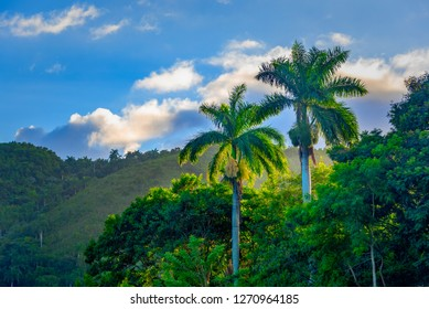 Beauty of the Royal Palm in the Cuban countryside in clear blue sky. The tree is a National Symbol in Cuba culture.