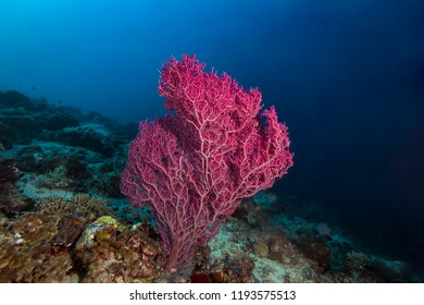 Beauty sea fan coral in tropical coral reef