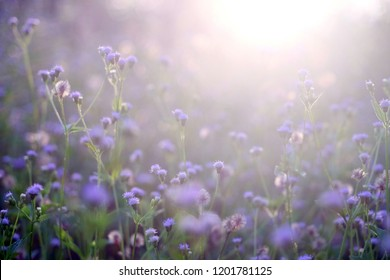 The beauty of a small purple flower field, or well known as Cyanthillium cinereum, on the afternoon sunlight effect. Beautiful natural background. Selective focus.