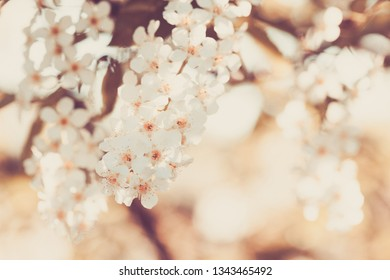 Beauty of spring: closeup of blossoming plum tree