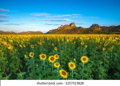 The beauty of the sunflower field in the morning of very nice day at Wat Khao Chin Lae, Lopburi province, Thailand.