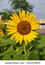 Beauty sunflowers are in bloom