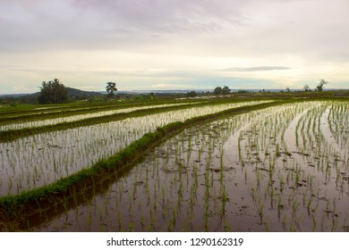 beauty terasering paddy fields