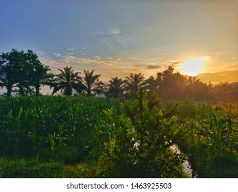 the beauty of the view of the morning sun between palm trees and corn fields