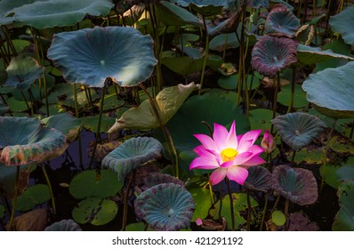 Beauty water lilly  flower,pink lotus in pond.