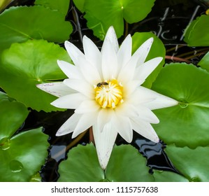 Beauty water lily flower white and green leaf in lagoon, Top view