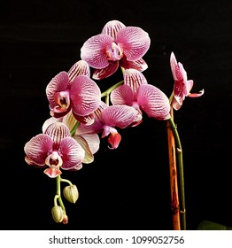 The beauty of a white and purple Orchid in full bloom with a black background