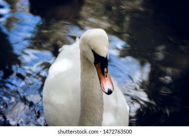 beauty white swan in the water