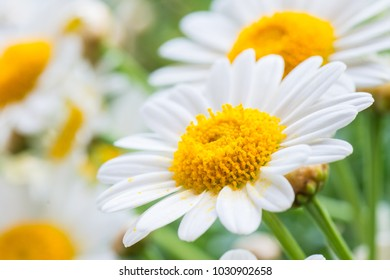 beauty wild daisies close-up