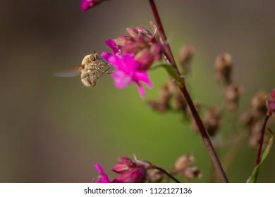 Beauty wild fly bee on carnation flower. Bombylius major