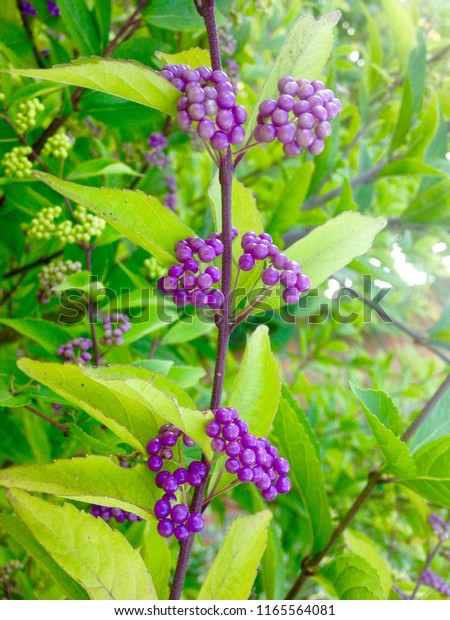 Beautyberry Bush Small Purple Berries Clusters Stock Photo Edit