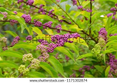 Beautyberry tree or American