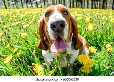 Beautyful adorable young basset hound smiling with happy sitting in a field of dandelion with blurry background full around of yellow flowers and green leave and tree ,spring season in europe,.