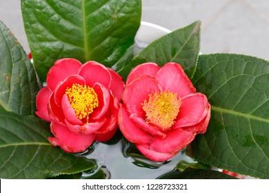 Lục Bát Hoa ĐV - Page 32 Beautyful-camellia-amplexicaulis-flower-260nw-1228723321