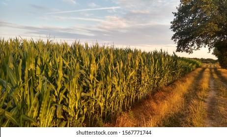 beautyful cornfield schönes Maisfeld im Sommer
