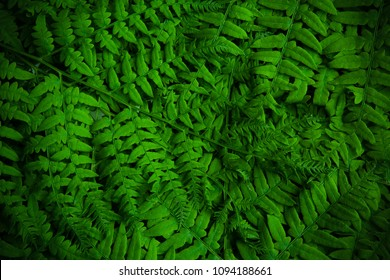 Beautyful ferns leaves green foliage natural background. Midsummer background