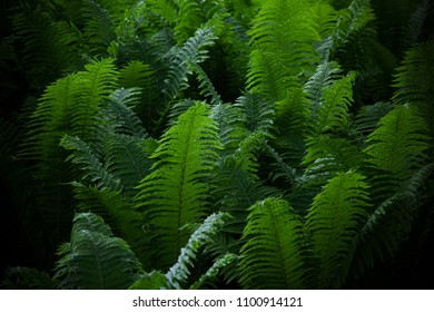 Beautyful ferns leaves green foliage natural floral fern background. Midsummer Day.