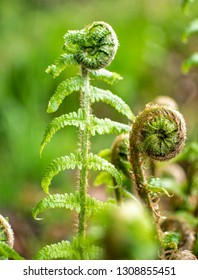 Beautyful ferns leaves green foliage natural floral fern background in sunlight. Fibonacci - Image
