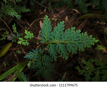 Beautyful ferns leaves green,Green leaves fern rainforest foliage plant ,The peacock fern (Selaginella willdenowii) has iridescent blue leaves.