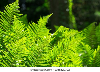 Beautyful ferns leaves, natural floral fern background in sunlight.