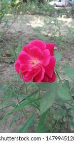 Useful Rose Flower Images, Stock Photos & Vectors | Shutterstock