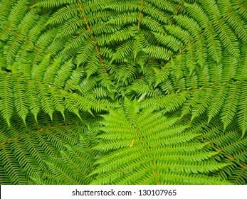 Beautyful leaf of fern (Cyathea lepifera) are regular array.