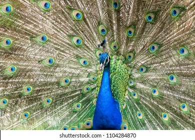 Beautyful male peacock trying to attract  the females