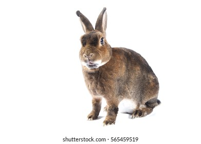 Beautyfull brown rabbit on a white background