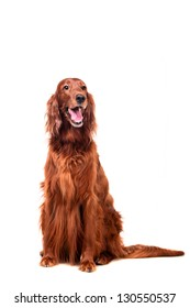 Beautyfull dog: Irish Red Setter - isolated over a white background