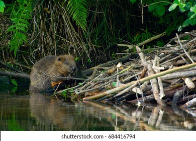 Beaver beside the lodge on a creek in Sweden