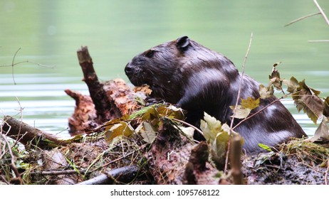 beaver busy building dam