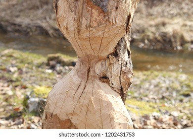 A beaver can chew down a small ann big tree. They will regularly cut down trees. Beavers eat mostly tree bark and leaves.