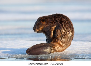 Beaver Castor canadensis grooming on the edge of ice at Watson Lake, Yukon, Canada