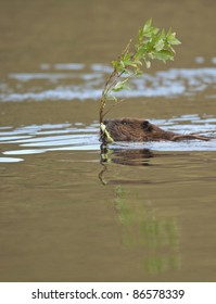 Beaver (Castor canadensis) swims across the pond with a Willow branch, Denali National Park, Alaska.