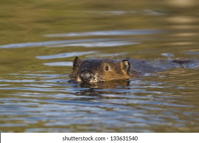 Beaver (Castor canadensis) swims toward his food cache as he prepares for the sub arctic winter in Denali Nat'l Park, Alaska.