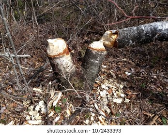 Beaver Chewed Trees