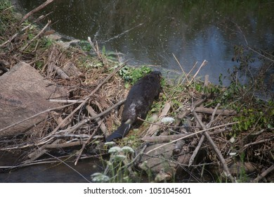 Beaver collecting clovers.