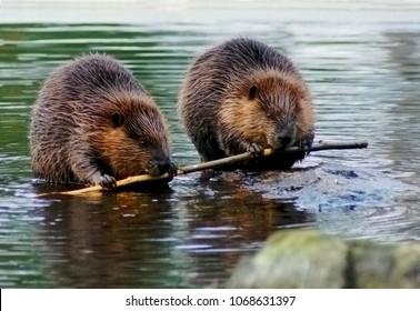 Beaver couple eating the same tree branch.