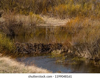Beaver dam in Colorado, wetland created
