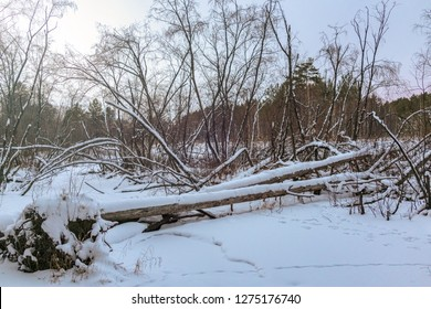 Beaver Dam in winter forest. Fallen tree in the winter forest